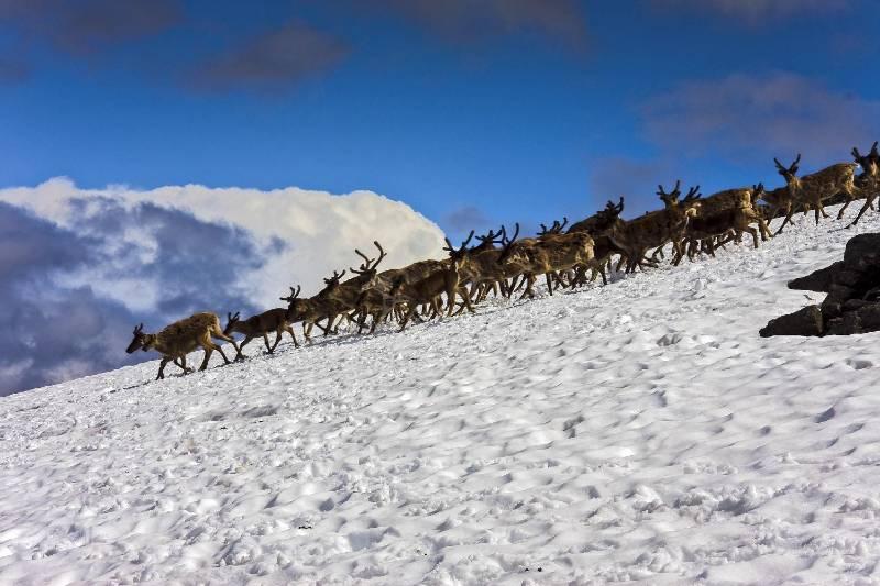 Reindeer herd in Jotunheimen can be seen while hiking to Galdhøpiggen